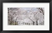 Framed Cherry Blossom Lane