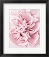 Framed Pink Carnation Crop