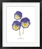 Framed Pressed Violas I