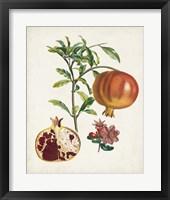 Framed Grenadier a fruit doux