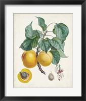 Framed Abricot- Peche