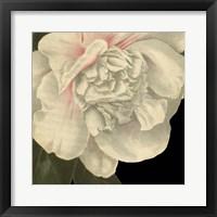Dramatic Camellia II Framed Print