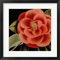 Dramatic Camellia III Framed Print