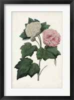 Vintage Rose Clippings II Framed Print