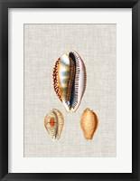 Framed Antique Shells on Linen V