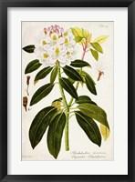 Framed Vintage Rhododendron I