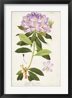 Framed Vintage Rhododendron II