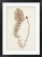 Sepia Seaweed III Framed Print