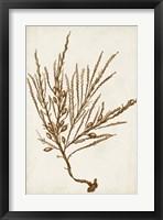 Sepia Seaweed V Framed Print