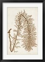 Sepia Seaweed VI Framed Print