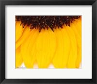 Framed Sunflower Closeup
