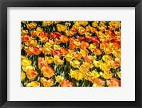 Framed Tulip Wave