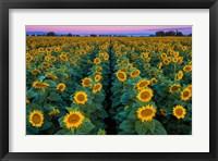 Framed Dawn Sunflowers