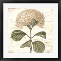 Hydrangea Cream I Framed Print