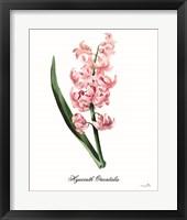 Framed Hyacinth Orientalis