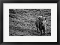 Framed Highland Cow Calf in the Wind