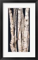 Framed Birch Tree I