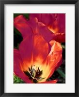 Romantic Tulips I Framed Print