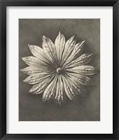 Framed Blossfeldt Flower II