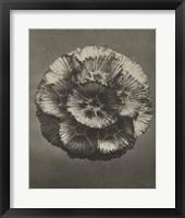 Framed Blossfeldt Flower III