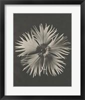 Framed Blossfeldt Flower IV