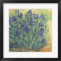 Irises in Bloom II Framed Print