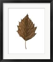 Fall Leaf Study III Framed Print