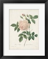 Vintage Redoute Roses II Framed Print