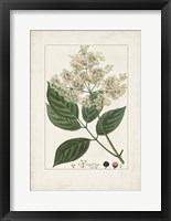 Antique Turpin Botanical V Framed Print