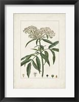Antique Turpin Botanical VII Framed Print