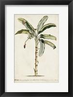 Banana Palm II Framed Print