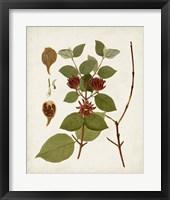 Antique Leaves II Framed Print