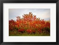 Framed Autumn Sumac