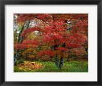 Framed Catskill Maple