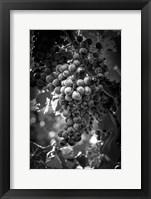 Framed Fruit of The Vine