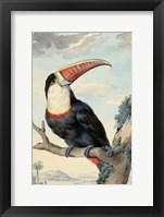 Framed Red-billed Toucan, c. 1748