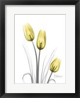 Illuminating Tulip Trio Framed Print