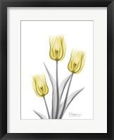 Illuminating Tulip Trio 2 Framed Print