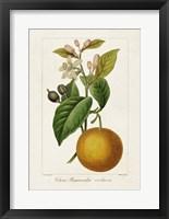 Antique Citrus Fruit II Framed Print