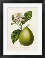 Antique Citrus Fruit IV Framed Print