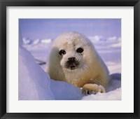 Framed Seal - baby