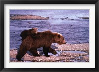 Framed Brown Bear Carrying Cub, Alaska