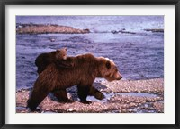 Framed Brown Bear Carrying Cub, Alaska