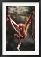 Framed Orangutan Baby