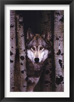 Framed Gray Wolf