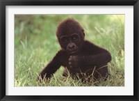 Framed Gorilla Baby