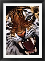 Framed Bengal Tiger Close-Up