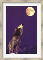 Framed Gray Wolf Howling At Moon