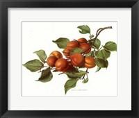Framed Fruit-8 of 10 (Nectarines)