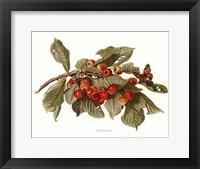 Framed Fruit-9 of 10 (Cherries)